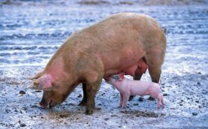pigs, prohibited in Old Testament food laws